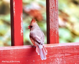 Between the lines is lovely Lady Cardinal