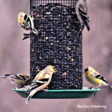 Six little American Goldinch eating on a wire feeder