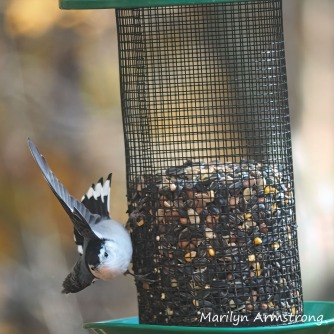 Nuthatch about to take to the air