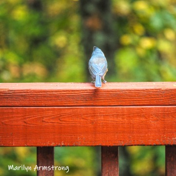 A titmouse enjoys the bright colorful woods