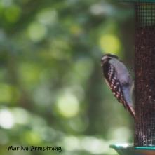 300-square-woodpecker-birds-10-1-10012019_005