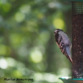 300-square-woodpecker-birds-10-1-10012019_005