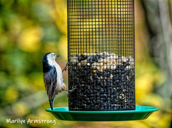 300-white-breasted-nuthatch-birds-20191016_240