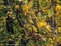 300-yellow-foliage-20191016_210
