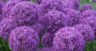 Bulbous flowers