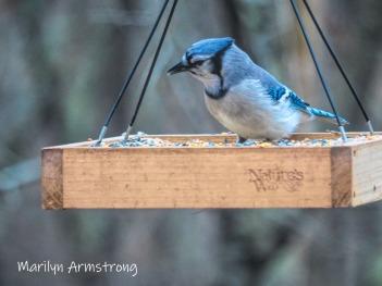 300-blue-jay-birds-11-18-20191118_321.