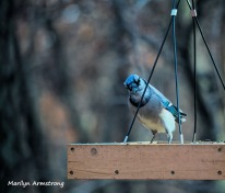 A rather menacing Blue Jay!