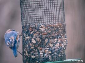 300-bluebird-20191128_108