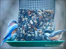 Bluebird and Chickadee