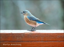 Bluebird on the fence rail