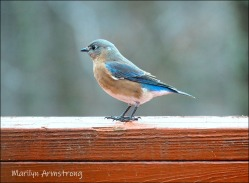 300-bluebird-on-rail-20191128_125