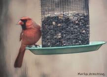 300-cardinal-snow-birds-11-12-20191112_127