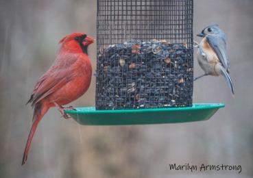 300-cardinal-titmouse-snow-birds-11-12-20191112_128