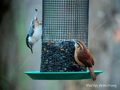 300-caroliina-sparrow-11-13-20191112_005