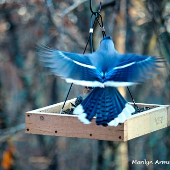 300-confrontation-blue-jay-and-red-belly-woodpecker-11-2-20191103_167