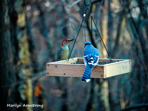 Red-bellied Woodpecker and Blue Jay