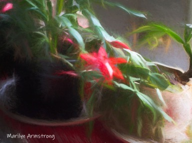 300-smudgy-christmas-cactus-11-20-20191120_319