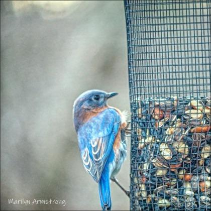 300-square-bluebird-20191128_107