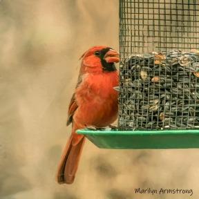 Cardinal in full regalia