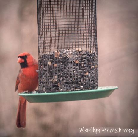 300-square-cardinal-snow-birds-11-12-20191112_123