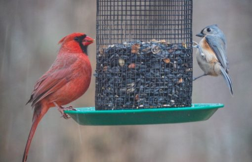 cropped-300-cardinal-titmouse-snow-birds-11-12-20191112_128-1.jpg