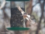 300-flying-titmouse-birds-12232019_118