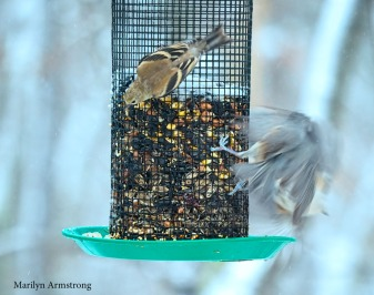 Goldfinch and flying Titmouse