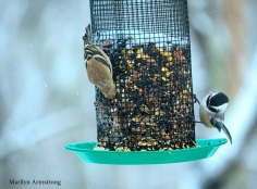 Goldfinch (yes, they are back) and a Chickadee