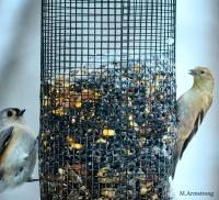 Goldfinch and Chickadee