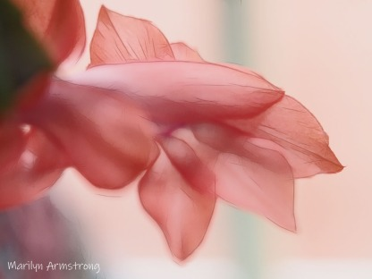 300-graphic-pink-christmas-cactus-2-on-12-1-20191201_016