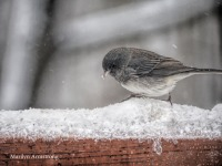 Junco in a bird's winter