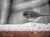 Junco in a bird's winter