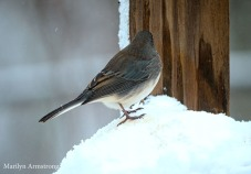 Winter is here, the Juncos are back