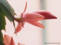 300-macro-pink-graphic-christmas-cactus-2-on-12-1-20191201_014