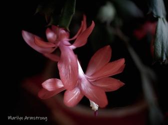 300-macro2-pink-cactus-20191130_001