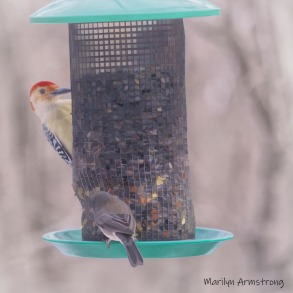 Red Bellied Woodpecker and a Junco