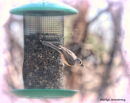 300-titmouse-birds-12232019_152