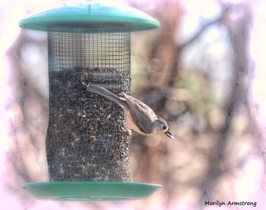 300-titmouse-birds-12232019_152