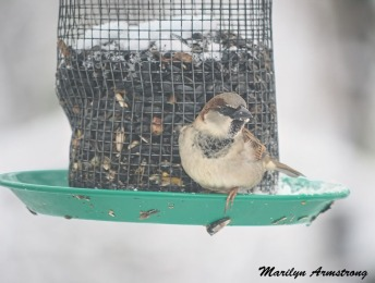 300a-carolina-wren-closeup-snowy-morning-birds-12-11-19-20191211_459