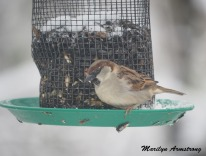 300a-carolina-wren-snowy-morning-birds-12-11-19-20191211_458