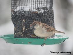 300a-carolina-wren-snowy-morning-birds-12-11-19-20191211_458