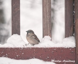300a-chipping-sparrow-snowy-morning-birds-12-11-19-20191211_287
