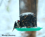 Downy Woodpecker with his red hat