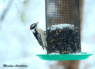 Downy Woodpecker in snow