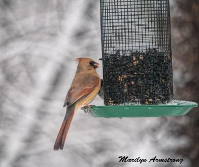 My Lady Cardinal