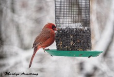 Watching our Cardinal get fat makes me happy. They used to get so thin in the winter.