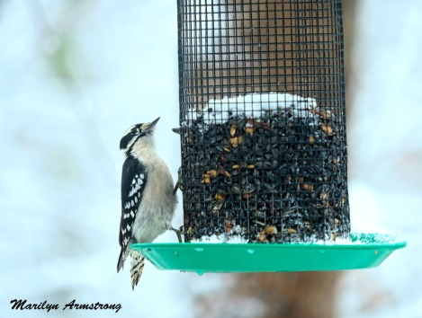 I'm pretty sure this one is the bigger Hairy Woodpecker -- but I'm not sure.