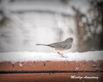 300a-junco-snowy-morning-birds-12-11-19-20191211_354