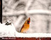 The Lady Cardinal