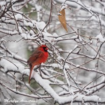 A winter Cardinal in a snowy tree